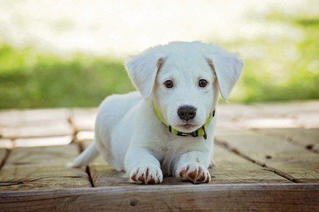 perrito-mascota